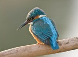 Kingfisher male March 2010