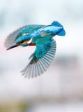 Kingfisher - Alcedo atthis
