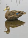 Mottled Duck - Anus fulvigula fulvigula