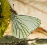 Whites and Sulphurs (Pieridae)