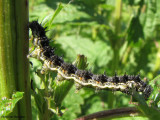 Milberts Tortoiseshell larva (Nymphalis milberti) on nettle