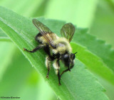 Robber fly  (Laphria sacrator), a bumblebee mimic