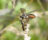 Robber fly (Dioctria sp.)