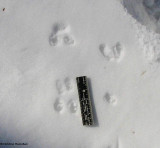 Mouse tracks, Peromyscus sp., possibly White-footed