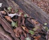 An accumulation of Raccoon (Procyon lotor) scat on log