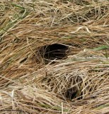 Meadow vole tunnel in grass