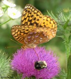 Great spangled fritillary and bumblebee on Canada thistle