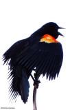 Blackbirds:  Red-winged Blackbirds, Common Grackles, Baltimore Orioles
