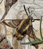 Snowberry clearwing moth (Hemaris diffinis), #7855