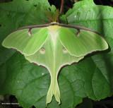 Giant Silkworm Moths:  (Family: Saturniidae) 7715 to 7758