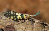 Lantern bug (genus Pyrops)