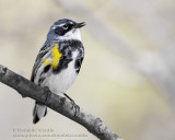 Paruline �ECroupion Jaune / Yellow-rumped Warbler