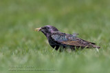 Étourneau Sansonnet / European Starling
