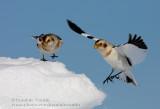Bruant des neiges / Snow Bunting