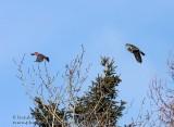Chouette Épervière & Durbec des Sapins / Northern Hawk Owl &  Pine Grosbeack