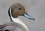 Canard Pilet / Northern Pintail