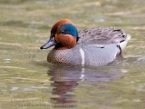Sarcelle d'hiver / Common Teal