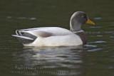 Canard de Saxe / Saxony duck