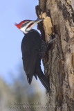 Grand Pic / Pileated Woodpecker