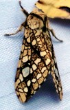 8211 Hickory Tussock Moth - Lophocampa caryae 5-25-2010.JPG