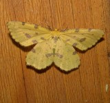 6740 - False Crocus Geometer Moth - Xanthotype urticaria 6-4-2010.JPG