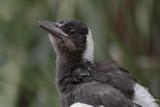 Immature Australian Magpie