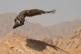 Aquila delle steppe - Steppe Eagle -Aquila nipalensis