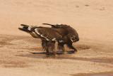 Aquila delle steppe - Steppe Eagle