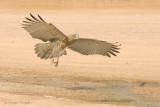 Biancone - Short-toed Eagle