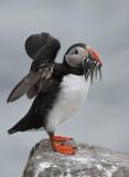 Farne Islands - Birds