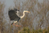 Grey Heron - Airone Cenerino