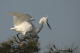 Little Egret - Garzetta