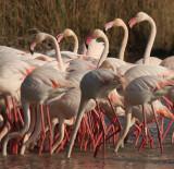 Flamingos - Fenicotteri Rosa