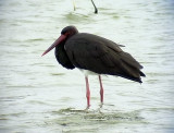 Svart stork Black stork Ciconia nigra