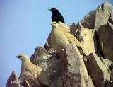 Ökenhöna Sand Partridge Ammoperdix heyi