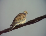 Turturduva Streptopelia turtur European Turtle Dove