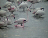 Mindre flamingo Lesser Flamingo Phoeniconaias minor