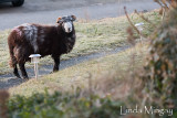5th March 2010 - are ewe lonesome tonight?
