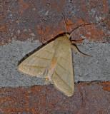 Citrine Sallow Moth (9930)