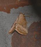 Common Pinkband Moth (9720)