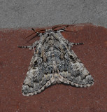 The Laugher Moth (9189)