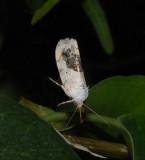 Schlaeger's Fruitworm Moth (1011)