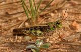 Orangewinged Grasshopper