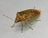 Banasa Stinkbug