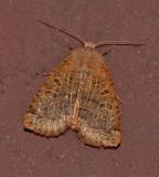Variable Sallow Moth (9941)