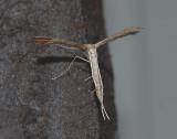 Ambrosia Plume Moth (6160)