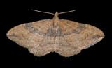 The Gem Moth (7414)