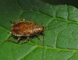 Little Yellow Cockroach