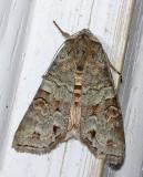 Alternate Woodling Moth (10517)