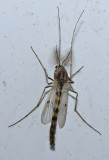Midges, Black Flies and related insects